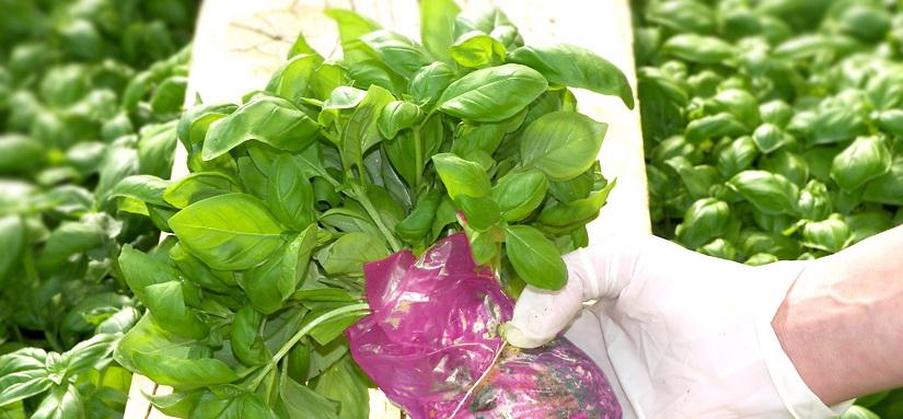 Pesto Basillico