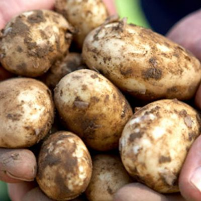 Jersey Royal Potatoes. PDO.