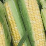 Genetically Modified Maize (very slowly)